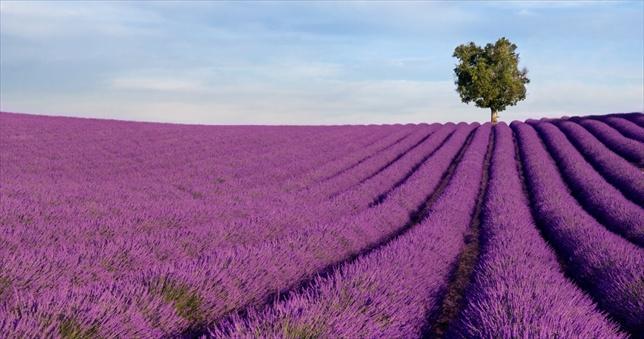 FRANCE TOUR - LAVENDER FLOWERS(8 DAYS)