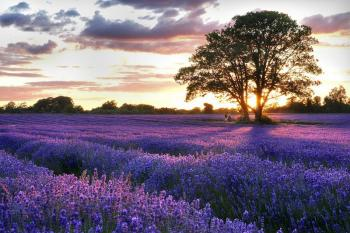 FRANCE - ITALY TOUR -LAVENDER FLOWERS